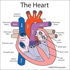 Yr 8 topic 2 circulatory system amazing world of science with mr the heart pumps blood to all parts of the body and within about a minute that blood returns to the heart to be pumped out once again ccuart