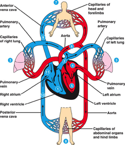Yr 8 topic 2 circulatory system amazing world of science with mr picture ccuart Choice Image