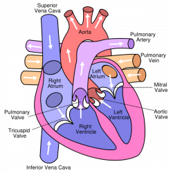 Yr 10 topic 1 blood and circulation amazing world of science picture ccuart Image collections