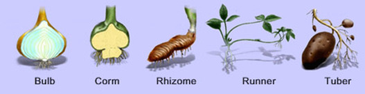 Asexual reproduction in plants bulbs