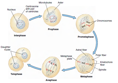 Yr 11 topic 1 cell cycle amazing world of science with mr green explain that mitosis occurs during growth repair cloning and asexual reproduction explain give a detailed account of causes reasons or mechanisms ccuart