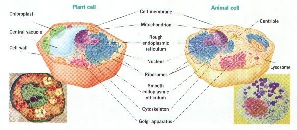 Animal Cell Vs Plant Cell Worksheet – Comparing Plant and Animal Cells Worksheet
