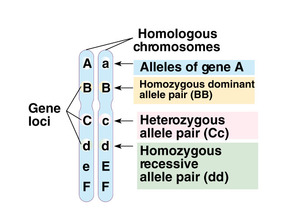 YR 11 Topic 4: Genes and Inheritance - AMAZING WORLD OF SCIENCE ...