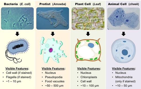 Topic 11 introduction to cells amazing world of science with mr picture ccuart Image collections