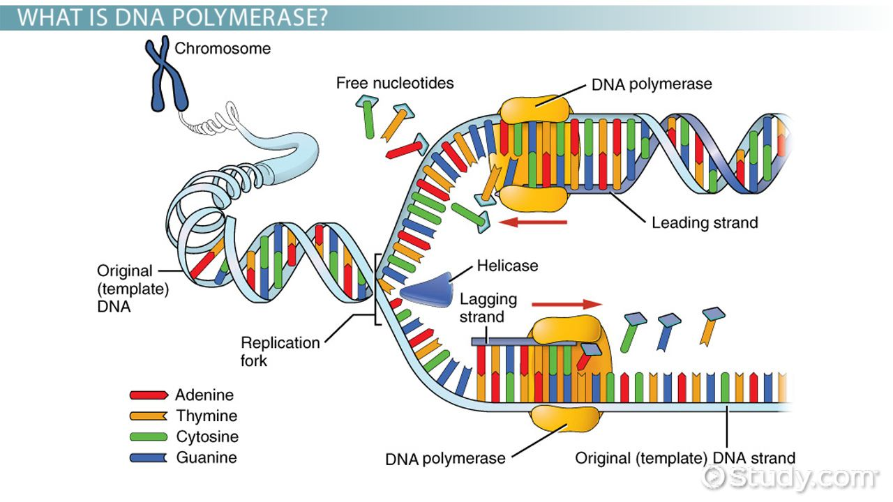 Topic 2 7 dna replication transcription and translation for What is a template in dna
